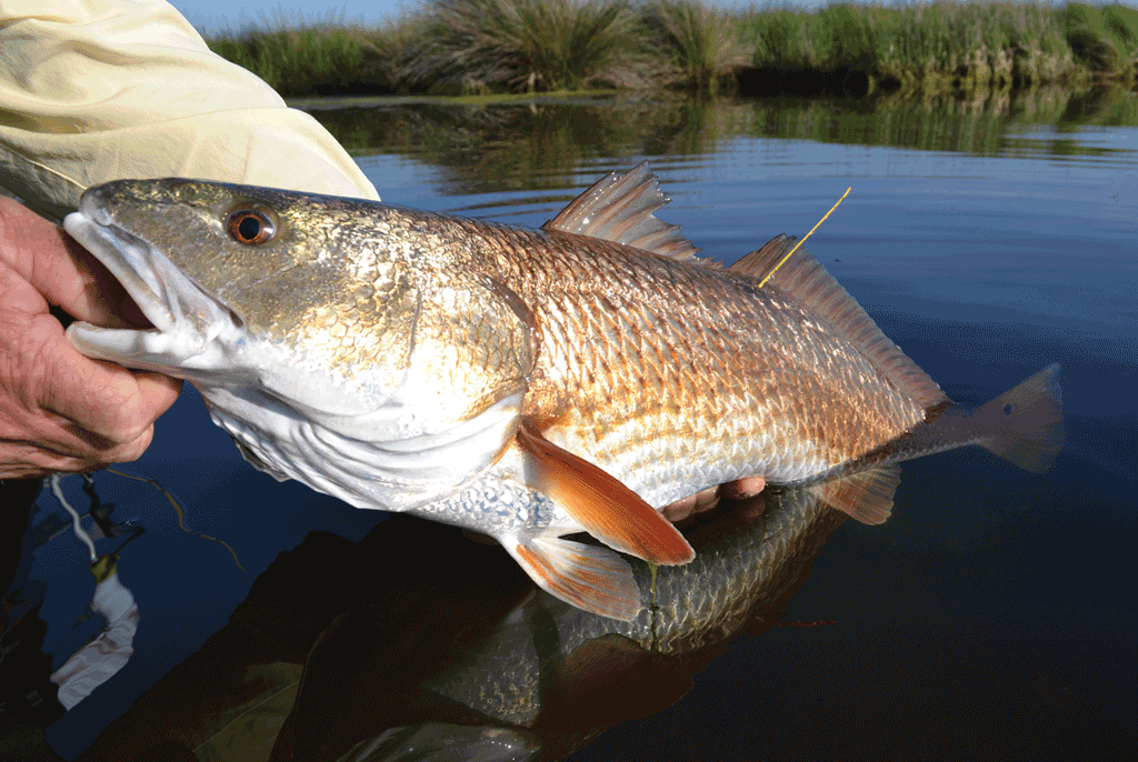Pogie Harvesting Kills Redfish, Setting Fight with Angling Community