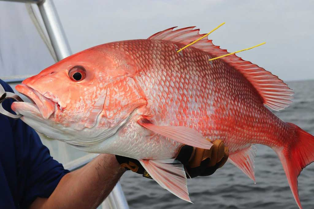 Read more about the article Gulf Council Asks NOAA Fisheries to Delay Red Snapper Data Calibration