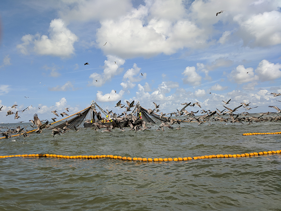 Audubon Louisiana Weighs In: Pogie fishing within our surf zone is bad for seabirds