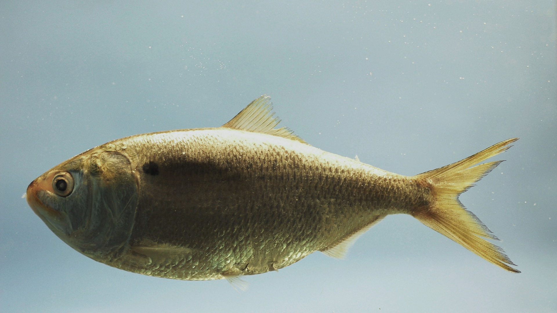 Read more about the article What are Menhaden (a.k.a. pogies)?