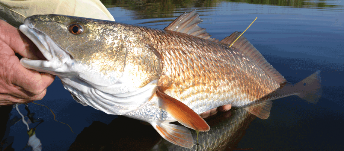 Yellow-tagged-redfish