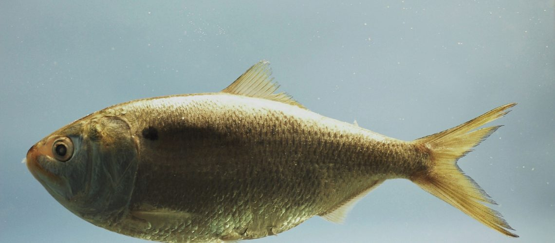 Gulf menhaden ( Brevoortia patronus ). Gulf of Mexico, Fish specimen on a monochrome background